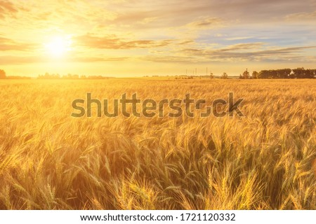 Scene of sunset or sunrise on the field with young rye or wheat in the summer with a cloudy sky background. Landscape. #1721120332