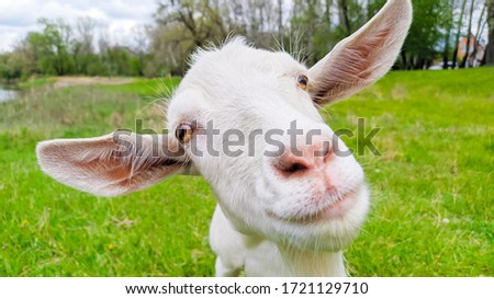 Funny portrait of White goat in a green meadow