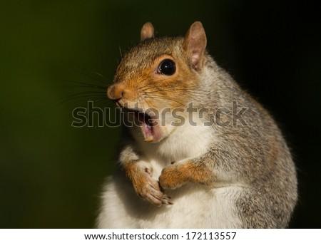 Grey squirrel yawning #172113557
