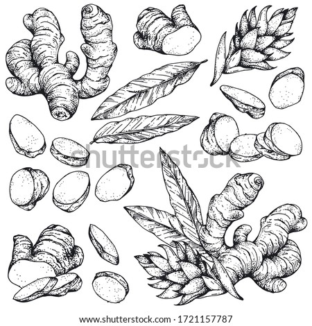 Vector collection of hand-drawn ginger. Sketches from the root, flower and leaves of ginger. Cut pieces. The style of engraving. Isolated objects on a transparent background. Monochrome drawing #1721157787