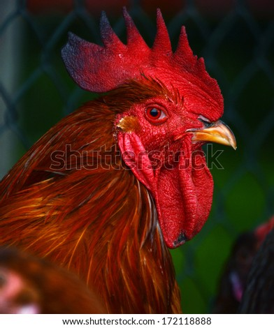 Rooster on traditional free range poultry farm #172118888