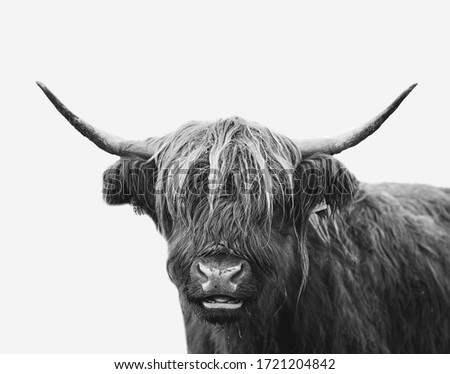 Beautiful farm cow/ bull close up portrait. Minimalist animal image on a white background. Agricultural cattle picture #1721204842