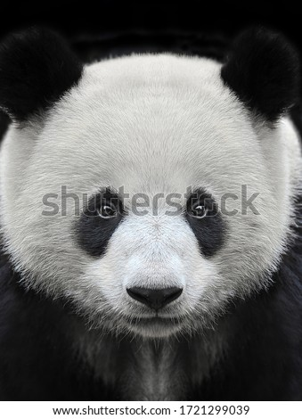 Portrait of a giant panda bear isolated on black background Royalty-Free Stock Photo #1721299039