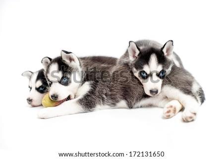 4 weeks old siberian husky puppies or cubs sleeping #172131650
