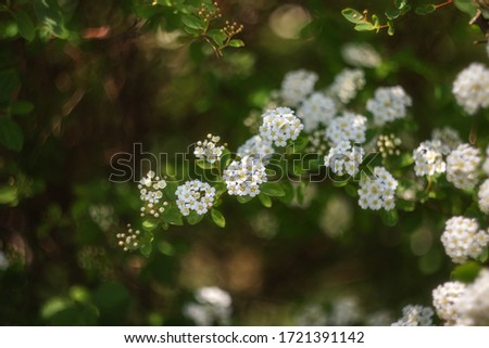 In spring, a shrub with many white flowers blooms-Spiraea. White flowers on a green blurred background with copy space. Spiraea - A genus of deciduous ornamental shrubs in the rose family (Rosaceae).  #1721391142