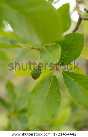 Small avocado fruits on an avocado tree with green leaves #1721454442