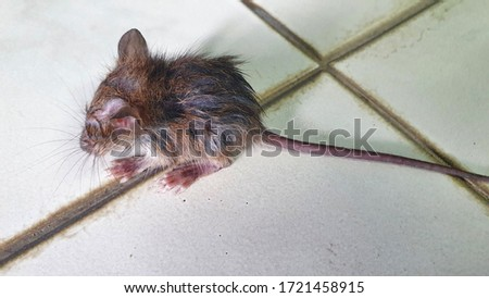 Picture of sick brown rats and epidemics