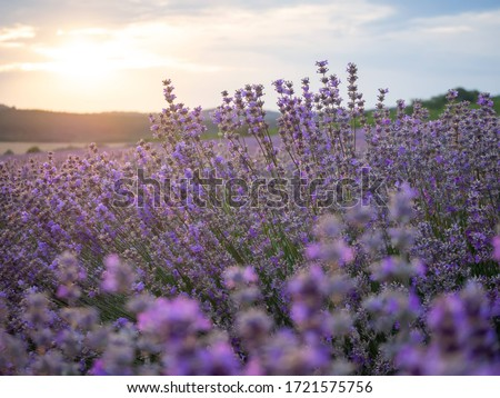 Lavender fields on sunset near Stara Zagora, Bulgaria. Romantic sunset over lavender fields. Woman running through lavender field. Purple field of lavender in Bulgaria on beautiful sunset #1721575756