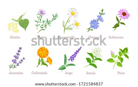 Medical herbs set. Vector flat illustration of Linden, Thyme, Chamomile, Chicory, Echinacea, Lavender, Calendula, Sage, Stevia, Mint isolated on white background. Cartoon healing plants and flowers. #1721584837