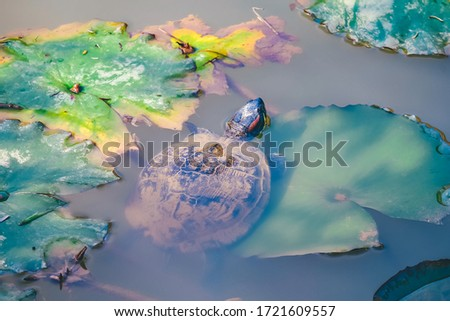 Turtle is sunbathing on the green leaf in a lake, wildlife scene from Dalat, Vietnam. The amphibian animal in the nature habitat. Royalty high-quality free stock image of animal. Wildlife photography.