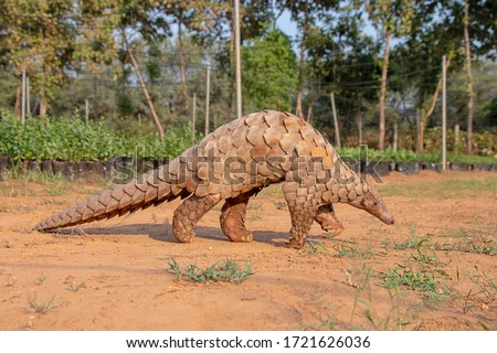 Indian Pangolin or Anteater (Manis crassicaudata) one of the most traffic wildlife species