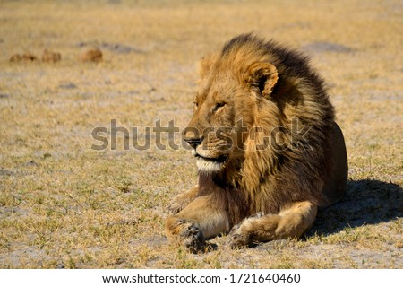 Lion king resting confident in the african savannah #1721640460