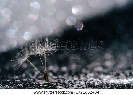Macro Dandelion Seed Abstract Glitter Background. Fluffy Blowball Stem Sparkling Glint around. White Ethereal Head of Summer Flower Bloom Blurred Shiny Closeup Picture. Lightweight Taraxacum