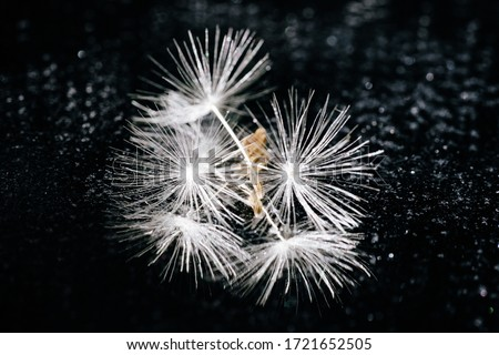 Soft Dandelion Seed on Abstract Gloss Background. Elevated View of White Blowball. Fluffy Stem on Glittering Black Ground. Group of Light Taraxacum Flower Bloom Magical Macro Shot.