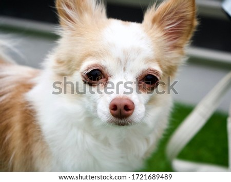 The picture of Chihuahua in Japan.