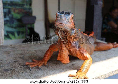 Close-up portrait of curious Iguana reptile. Iguane lizard portrait macro, close-up. Portrait front view to colorful exotic iguana resting on wood, with skin in red, orange, yellow and blue tones. Royalty-Free Stock Photo #1721694883