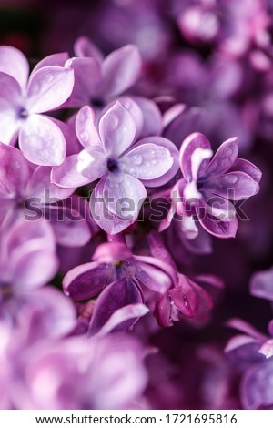 Lilac background. Purple lilac flowers spring blossom background Royalty-Free Stock Photo #1721695816