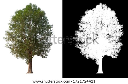 Isolated single tree on white background with clipping path and alpha channel  #1721724421