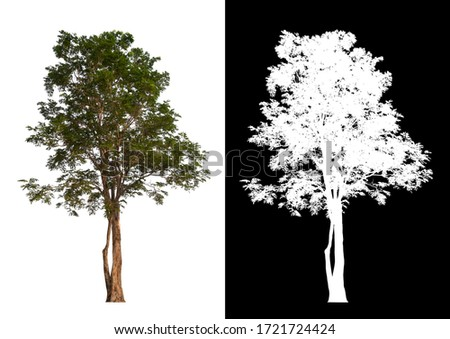 Isolated single tree on white background with clipping path and alpha channel  #1721724424