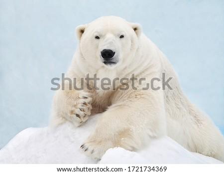 Portrait of a polar bear close-up. Royalty-Free Stock Photo #1721734369