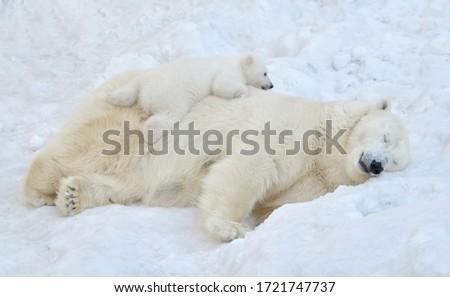 A polar bear sleeps in the snow with a small bear cub. Royalty-Free Stock Photo #1721747737