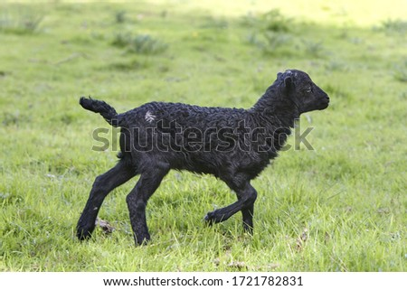 Black male ouessant lamb running and playing in the meadow #1721782831