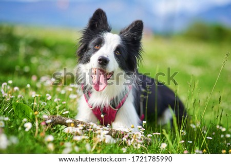 Beautiful Border Collie puppy portrait Royalty-Free Stock Photo #1721785990