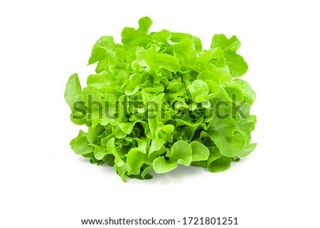 Raw organic green oak lettuce on white isolated background with clipping path. Fresh green oak lettuce have high fiber and vitamin, sweet taste, crisp, delicious for salad. Food and vegetable concept. #1721801251