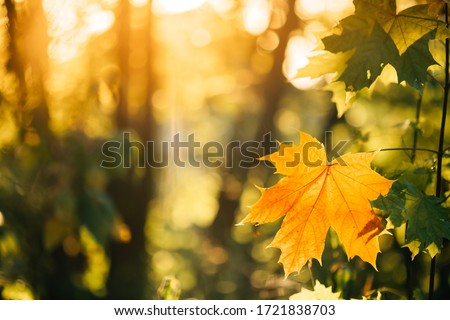 Autumn yellow maple leaf among green foliage. Early Autumn. #1721838703