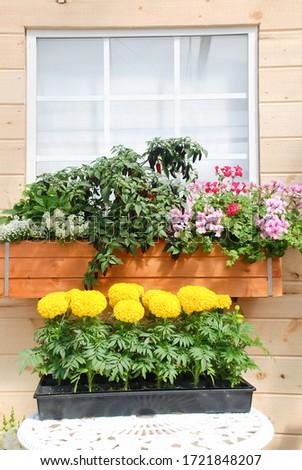 Marigolds Yellow Color (Tagetes erecta, Mexican marigold, Aztec marigold, African marigold), marigold pot plant   #1721848207