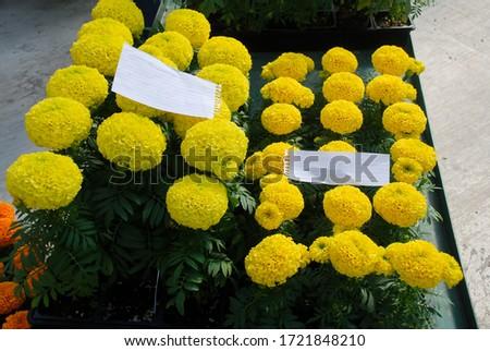 Marigolds Yellow Color (Tagetes erecta, Mexican marigold, Aztec marigold, African marigold), marigold pot plant   #1721848210