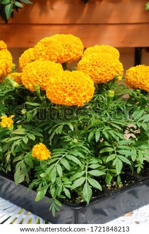 Marigolds Orange Color (Tagetes erecta, Mexican marigold, Aztec marigold, African marigold), marigold pot plant   #1721848213
