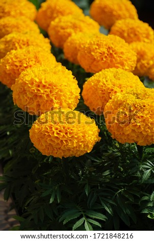 Marigolds Gold Color (Tagetes erecta, Mexican marigold, Aztec marigold, African marigold), marigold pot plant   #1721848216