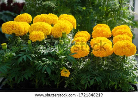 Marigolds Gold Color (Tagetes erecta, Mexican marigold, Aztec marigold, African marigold), marigold pot plant   #1721848219