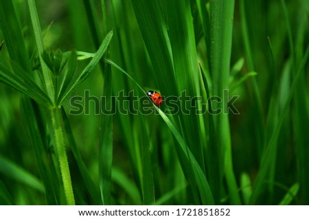 Ladybug is sitting on the grass. Fresh juicy green grass and insect. Sunny spring day. Macro. Royalty-Free Stock Photo #1721851852