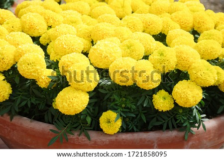 Marigolds Yellow Color (Tagetes erecta, Mexican marigold, Aztec marigold, African marigold), marigold pot plant   #1721858095