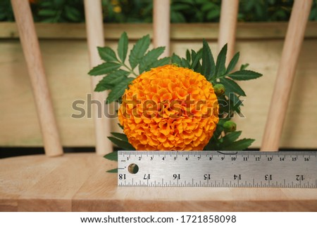 Marigolds Orange Color (Tagetes erecta, Mexican marigold, Aztec marigold, African marigold), marigold pot plant on wood chair and ruler for flower size  #1721858098