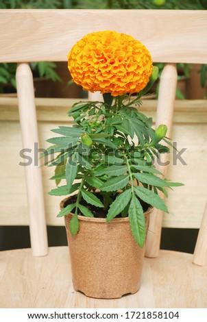 Marigolds Orange Color (Tagetes erecta, Mexican marigold, Aztec marigold, African marigold), marigold pot plant   #1721858104