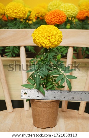 Marigolds Yellow Color (Tagetes erecta, Mexican marigold, Aztec marigold, African marigold), marigold pot plant   #1721858113
