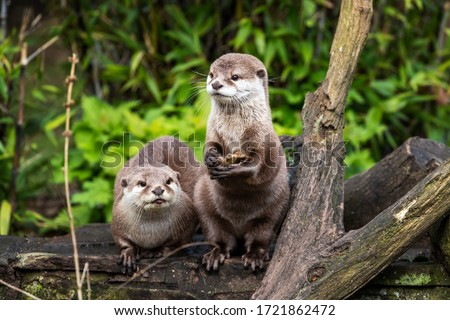 Two Oriental small-clawed otters, Aonyx cinereus, one crouched and the other is upright on his hind legs. The upright otter is holding a stone, which he will use to break shells and access food.