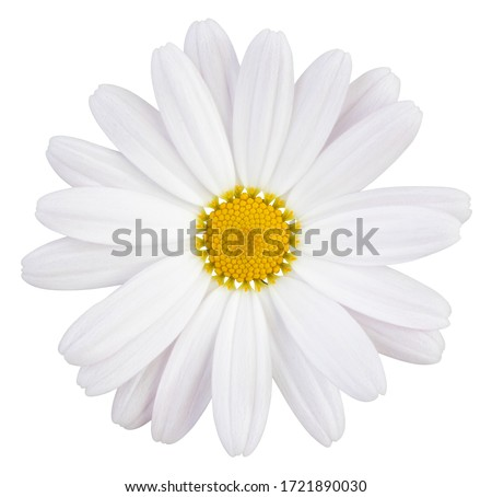 Beautiful white Daisy (Marguerite) with a little pink, isolated on white background, including clipping path.  Royalty-Free Stock Photo #1721890030