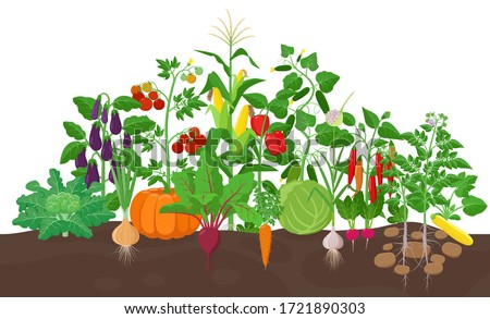 Garden with vegetable plants growing in the garden  - vector flat illustration, group of vegetable plants in soil isolated on white background. Royalty-Free Stock Photo #1721890303