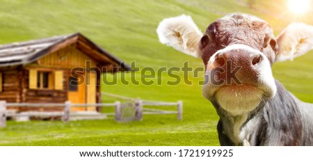 Young cow on an alpine pasture in the Alps Royalty-Free Stock Photo #1721919925