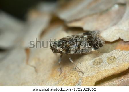 Planthopper, Cixius on pine wood, macro photo #1722021052