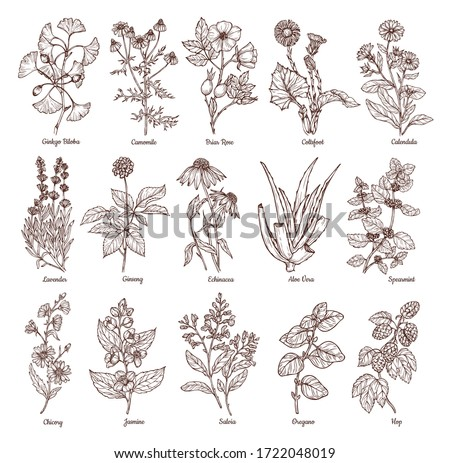 Sketch illustration of medicinal herbs. Vector hand drawn set. Chamomile, gingo beloba, echinacea, calendula, mint, rose hip, lavender. For packaging, patterns, prints. Royalty-Free Stock Photo #1722048019