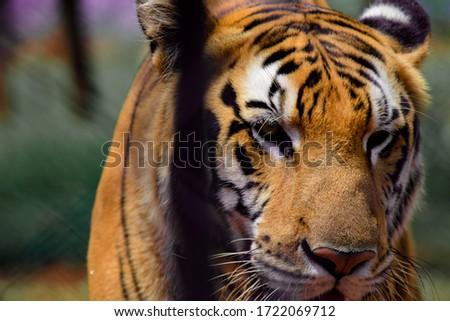 a closeup shot of the Indian tiger #1722069712