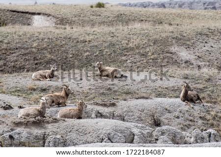 South Dakota.  Badlands National Park.  Bighorn Sheep, Ovis canadensis. A herd of Bighorn sheep napping in the Badlands. #1722184087