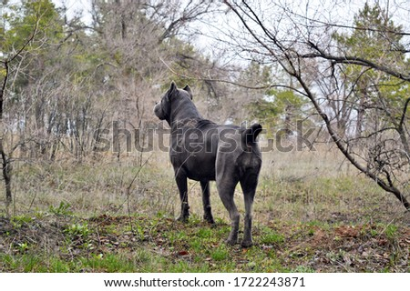 Dog breed Italian Cane Corso peers into the forest. thoroughbred dog walks in the forest #1722243871