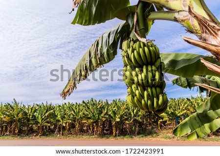 Banana plantation. Young banana trees on the rural farm. Banana trees on the side of the road, Banana production in southern Brazil #1722423991