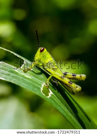 Young grasshoppers are eating plants. green grasshopper. insect